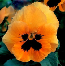 Orange Pansy Seeds, Swiss Giant Pansies, Orange Viola Seeds, Heirloom Se... - $6.43