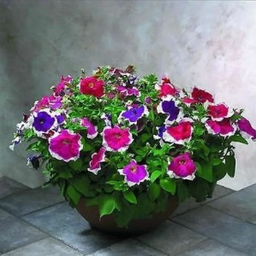 Primary image for SHIP FROM USA Petunia Picotee Mix Flower Seeds (Petunia Multiflora F2) 200+Seeds
