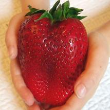 Super Giant Sweet Strawberry 50 Seeds Premium Seeds High Germination - $5.00