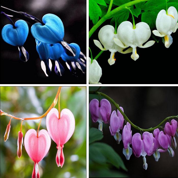 100 Dicentra Spectabilis seeds Bleeding Heart classic cottage garden plant image 2