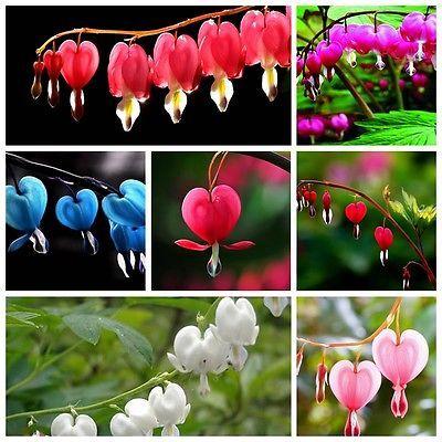 100 Dicentra Spectabilis seeds Bleeding Heart classic cottage garden plant