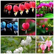 100 Dicentra Spectabilis seeds Bleeding Heart classic cottage garden plant image 1