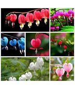 100 Dicentra Spectabilis seeds Bleeding Heart classic cottage garden plant - $4.32