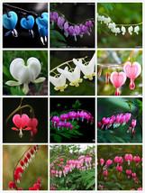 100 Dicentra Spectabilis seeds Bleeding Heart classic cottage garden plant image 4