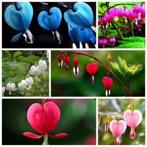 100 Dicentra Spectabilis seeds Bleeding Heart classic cottage garden plant image 3