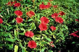 "20 Morning Glory ""Scarlet O Hara"" (Ipomoea nil) Seeds ~ beautiful gardens - $5.20"