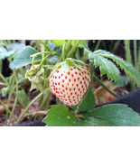 ORGANIC STRAWBERRY/PINEBERRY  PLANTS - BARE ROOT - 12 COUNT  GROWN IN THE U.S.A. - $25.00
