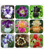 Rare Heirloom Iris Tectorum Perennial Flower Seeds, 20 Seeds, Beautiful ... - $4.55