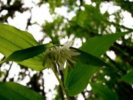10 Hookers Fairybells Drops Of Gold Prosartes Disporum Hookeri Flower Seeds - $14.00