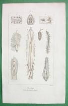 ANATOMY Internal Organs of Articulata Segmented Bodies - H/C Color Antiq... - $7.27