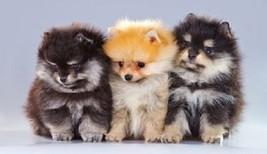 Pomeranian Dog Magnet #4 - $7.99
