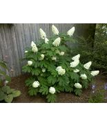 OAKLEAF HYDRANGEA shrub - $19.99