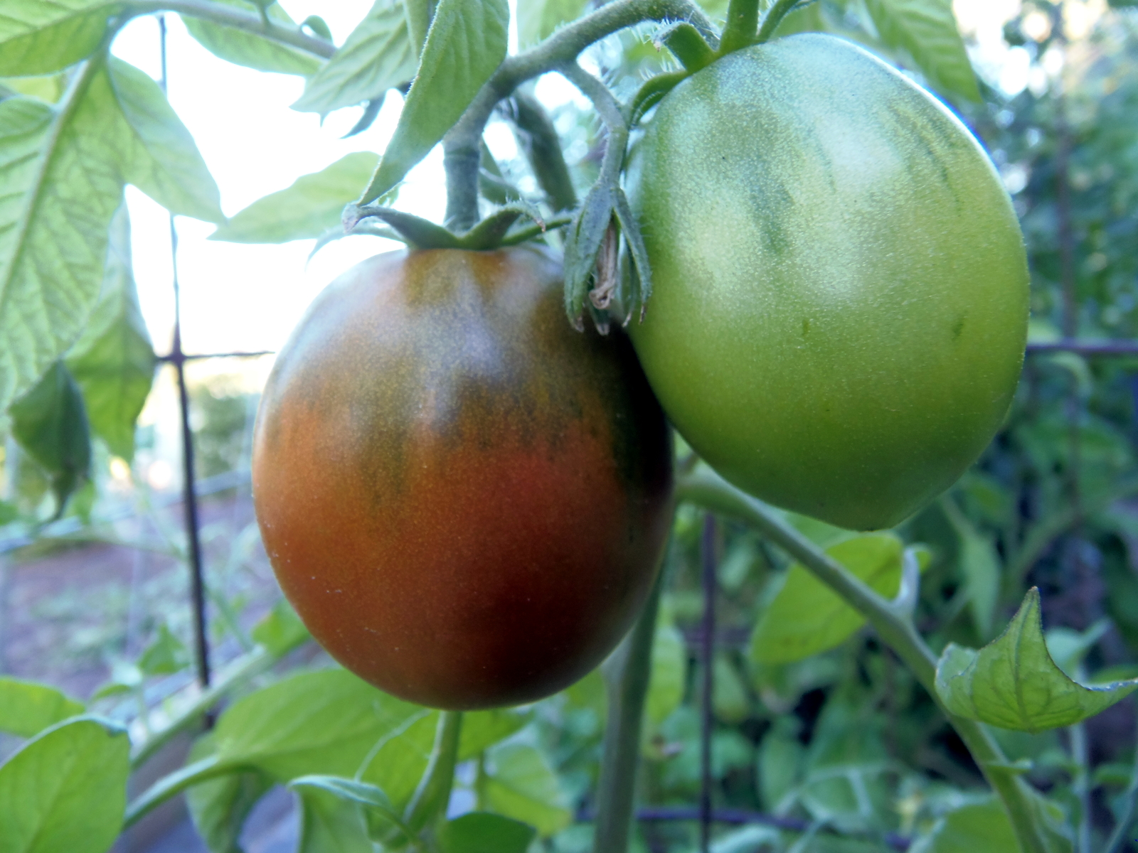 Bedouin tomato seeds