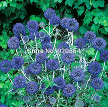 Imported seed,Real seed, 5pcs/lot Blue Globe Thistle (Echinops Ritro) flower see - $7.82