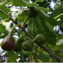 Fig - 'Brown Turkey' - Fruiting Fig Tree - $5.99