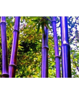 30 pcs rare purple bamboo seeds bambusa black bamboo seeds planted courtyard  2  thumbtall