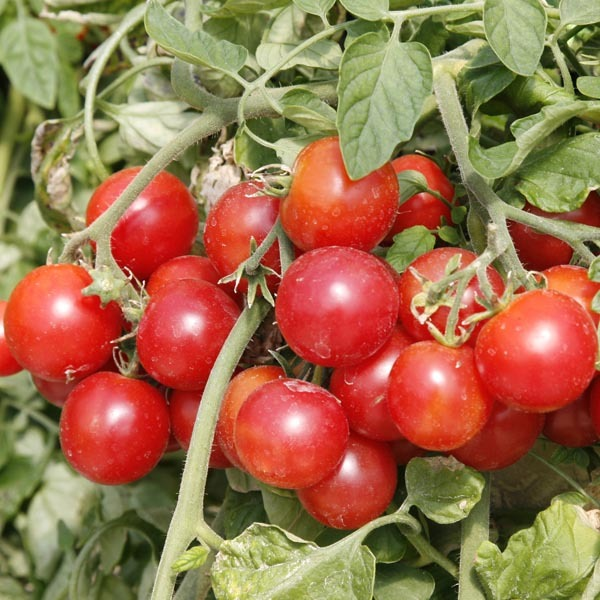 50 Tomato - Large Red Cherry Seeds