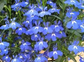 100 Lobelia Seeds - Blue Carpet - $7.99