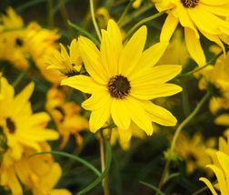 Sunflower Maximilian Perennial Helianthus Maximiliani - 50 Seeds - $11.99