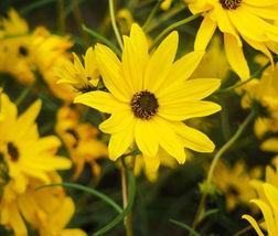 Sunflower Maximilian Perennial Helianthus Maximiliani - 50 Seeds - $11.99