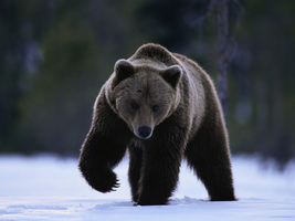 "Astral Bear Spirit Guide ""Wahkoowah""(charging bear) Stone or Glass Bead ... - $25.00"