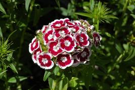 100 Dianthus Holborn Flower Seeds - $6.89