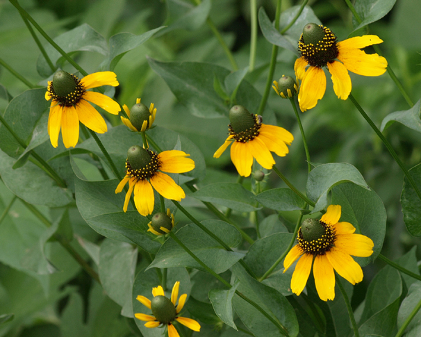 500 Coneflower Clasping Flower Seeds - $8.99