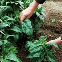 400 Spinach Seeds Salad Leaves Good Taste Non-GMO DIY Home Garden Plant - $9.99