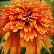 Orange Marmalade Echinacea Perennial Coneflower  200 Seeds - $10.99