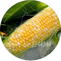 50 maize seeds Vegetables yellow fruit raw corn very taste easy-growing - $10.99