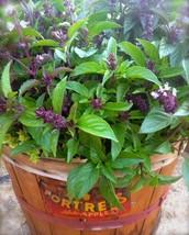 200 Organic Thai Basil Herb Seeds,easy to grow - $11.05