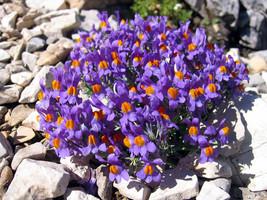 50 Linaria Alpina Seeds - $7.99