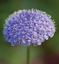 50 Blue Lace Flower Seeds - $7.99
