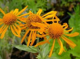 50 Sneezeweed Hoopesii Flower Seeds - $7.99