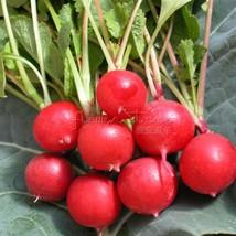 400 Cherry Belle Radish Seeds (23 days) ASA AWARD WINNER Fresh Pack  - $8.55