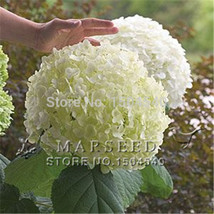 10 White Hydrangea Flower seeds,charming color ,gorgeous balcony or yard flower  - $8.05