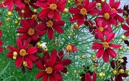 200 Coreopsis Red Dwarf Flower Seeds - $7.99