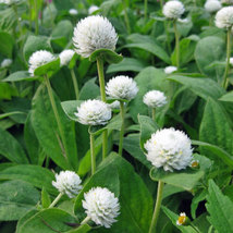 50 White Gomphrena Globosa Flower Seed - $7.99