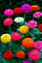 100 Zinnia Cut and Come Again Flower Seeds  - $7.99