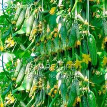 Green Vegetables Seeds Dutch Cucumber Cuke Seeds - 20 seeds Mini Fruit Cucumbert - $7.55