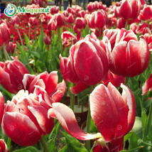24Colors Perfume Tulip Seed ,Colorful Tulip Plants Perennial Home Garden 10PCS - $7.55