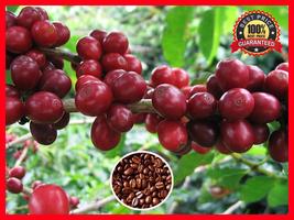 100+ Pcs Coffee Bean Plant Seeds - ARABICA COFFEE Plant (Coffea Catura A... - $6.99