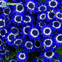 NEW Beautiful Florists Cineraria Flower Seed Pot  DIY Home Garden 100pcs/Bag - $8.99