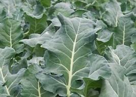 500 semences Collards Vates Heirloom Délicieux vert Adéquat pour salades... - $3.65