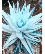 20 Blue Aloe Vera Seeds, Rare Exotic Courtyard Balcony Potted Plants, Herbs - ₹208.85 INR