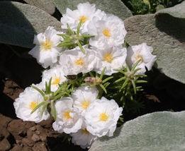 100 White Moss Rose (Portulaca) Flower Seeds - $8.99