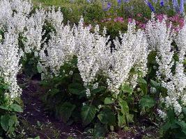 100 White Salvia Flower Seeds - $7.99