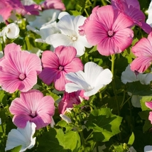 50 Rose Mallow- Mix Colors Flower Seeds - $7.99