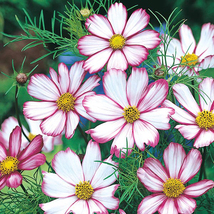 100 Cosmos Candy Stripe Flower Seeds - $7.99