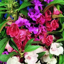 50 Balsam Camelia Impatiens Flower Seeds - $7.99